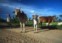 Farmer with cattle in Cambodia