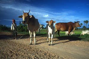 Farmer with cattle in Cambodia