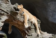 Lazy lion lying on a branch