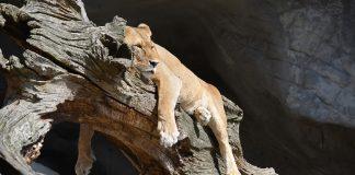 Lazy lion lying on a branch