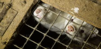Farmed mink in cage