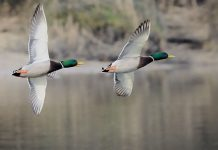 two mallards in flight over water