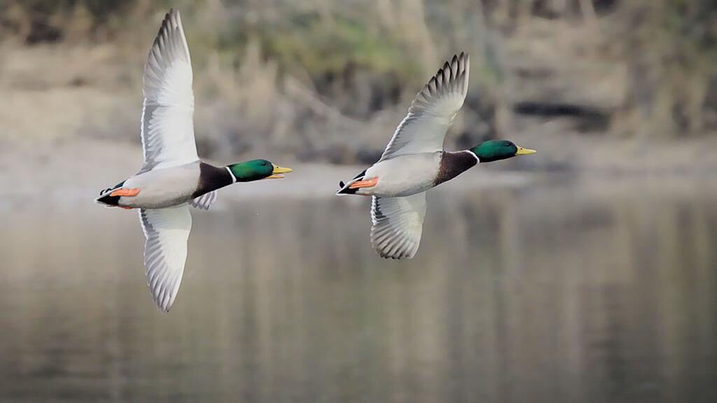 two mallards in flight over water